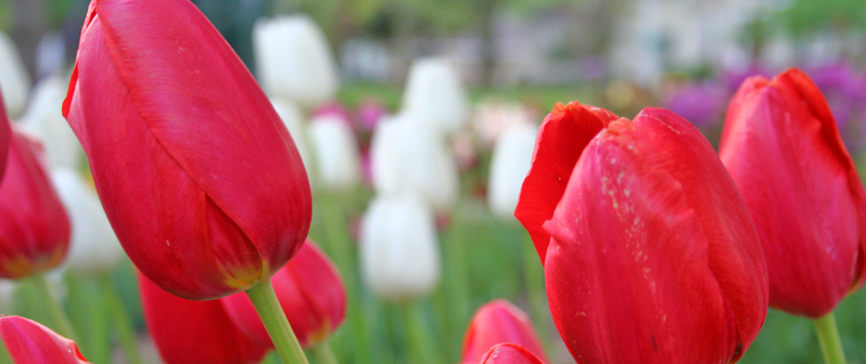 orange city tulip festival  u2013 may 18