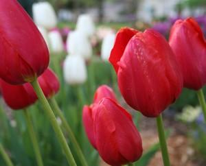 Tulip-Feature-tulips1